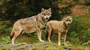 Kdo chce s vlky žíti? - Nedej se (ČT)